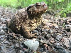 Erdkröte auf Forstweg im Hildesheimer Wald bei Klein Escherde