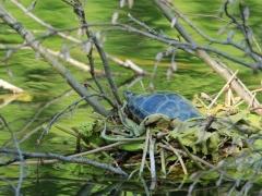 Schildkröte mit Schwimmnest