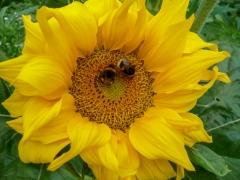Sonnenblume mit Bienen, Diekholzen