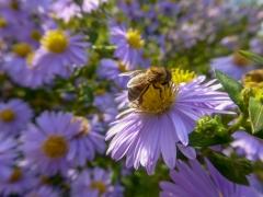 Herbst Aster mit Biene