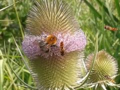 Hummel und Schwebfliege am Blütenstand einer Wildkarde