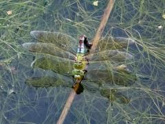 Grüne Mosaikjungfer bei Eiablage