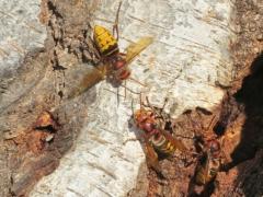Wespen auf Birke