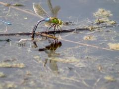 Zwei Libellen,  Giesener Teiche