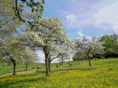 Lamspringe, Heber (mit Löwenzahn u. Obstbaumblüten),  April 201