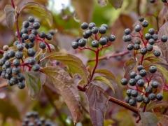 """Beeren des """"Roten Hartriegels"""" Diekholzen"""