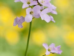 Frühlingsboten - Wiesen-Schaumkraut