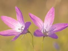 Glockenläuten - Wiesen-Glockenblume