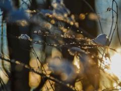 Schneebedecke Buche im Wäldchen an der Beuke