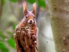 Hey du! Europäisches Eichhörnchen!Eiberg, Alfeld
