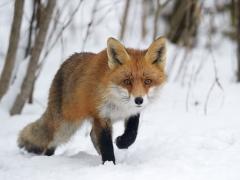 Schnürender Fuchs