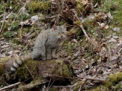 Wildkatze in der Gronauer Masch
