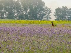 junger Rehbock im Phacelia-Feld, Lamspringe-Altgandersheim,  Juni 2017