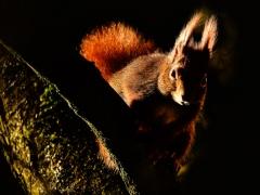 Eichörnchen im Gegenlicht
