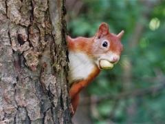 Eichhörnchen Frühstück