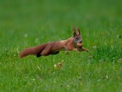 Ein weiter Sprung-Eichhörnchen
