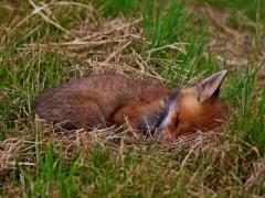 Der schlafende Jungfuchs