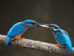 Balzfütterung der Eisvögeln