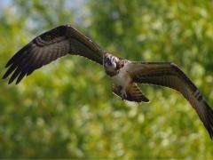 Fischadler im Blick