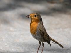 Der Vogel bei der Jagd