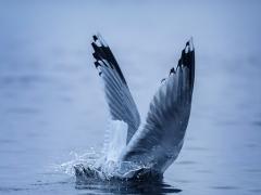 Den Kopf ins Wasser steckern - Silbermöwe