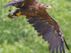 Seeadler fliegt nach erfolgloser Jagd zurück zum Ansitz Seeadler im 2. Jahr
