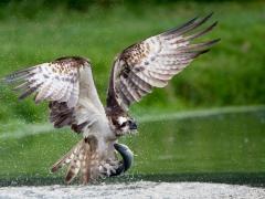 Fischadler mit Forelle