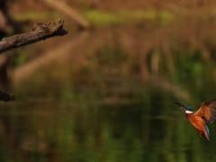 Eisvögel im Anflug