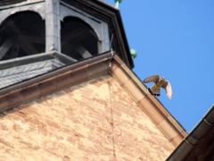 Turmfalke im Flug, Lamspringe, Klosterkirche, April 2018
